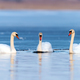 Three swans in lake - PhotoDune Item for Sale
