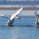 Swans taking flight on lake - PhotoDune Item for Sale