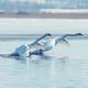 Swans taking flight on lake - PhotoDune Item for Sale