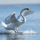 Mute swan flapping wings - PhotoDune Item for Sale