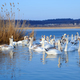 Group of white swans swimming in water - PhotoDune Item for Sale