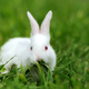 Baby white rabbits in grass - PhotoDune Item for Sale