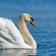 Swan on blue lake water in sunny day - PhotoDune Item for Sale