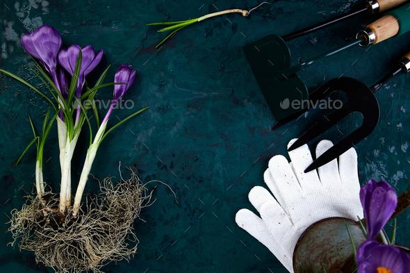 Gardening tools, crocus flower. spring - Stock Photo - Images