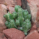 Euphorbia resinifera - Resin spurge - PhotoDune Item for Sale