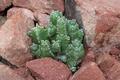 Euphorbia resinifera - Resin spurge - PhotoDune Item for Sale