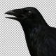 Raven - VideoHive Item for Sale