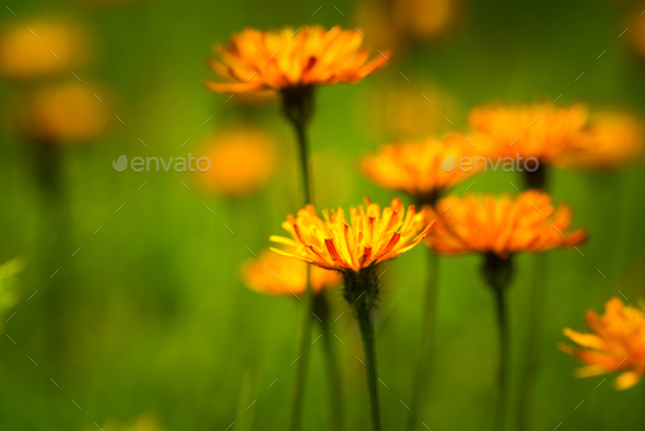 Crepis alpina - Abstract background of Alpine flowers - Stock Photo - Images