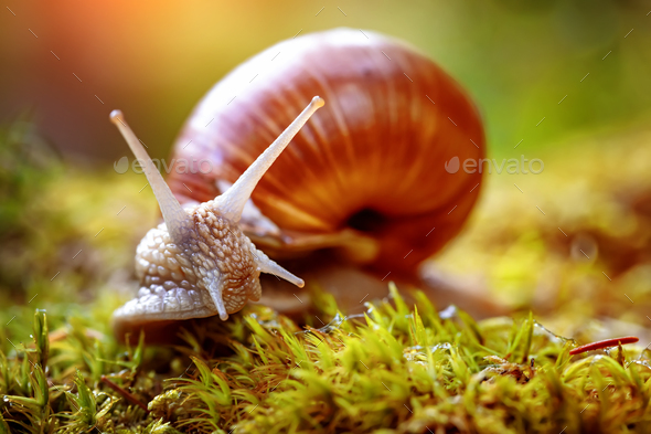 Helix pomatia also Roman snail, Burgundy snail - Stock Photo - Images