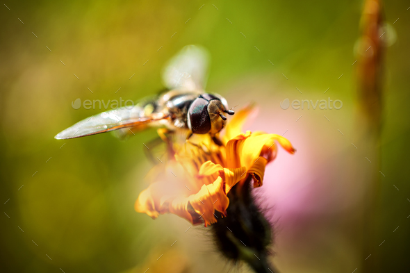 Wasp collects nectar from flower crepis alpina - Stock Photo - Images