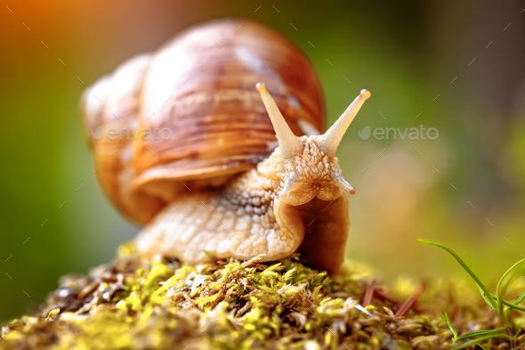 Helix pomatia also Roman snail, Burgundy snail - Stock Photo - Images