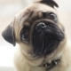 Pug-dog Looking Into Camera, Turns His Head - VideoHive Item for Sale