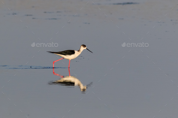 black winged stilt - Stock Photo - Images