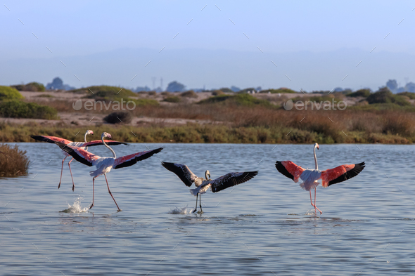 pink flamingos walking through the water - Stock Photo - Images