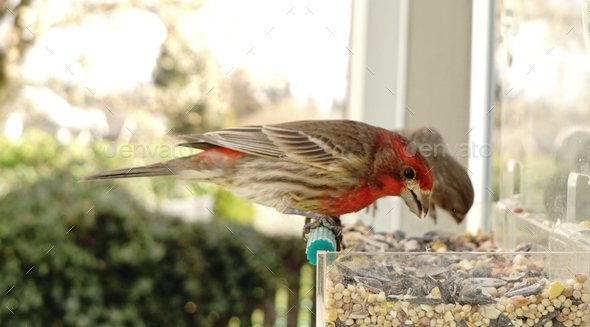 Colorful Orange Male House Finch Perched at Bird Feeder - Stock Photo - Images