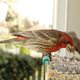 Colorful Orange Male House Finch Perched at Bird Feeder - PhotoDune Item for Sale