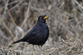 Common blackbird (Turdus merula) - PhotoDune Item for Sale