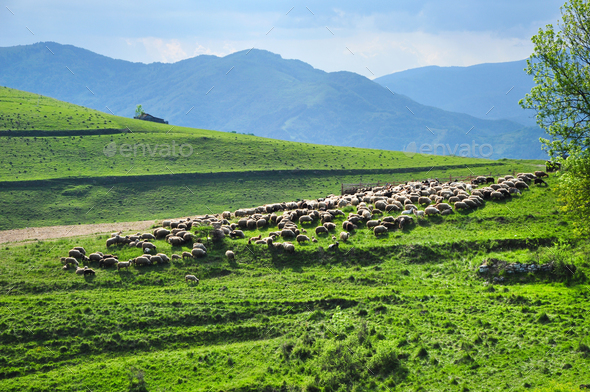 Large flock of sheep resting in a traditional rustic sheepfold. Transylvania, Romania - Stock Photo - Images