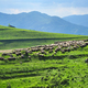 Large flock of sheep resting in a traditional rustic sheepfold. Transylvania, Romania - PhotoDune Item for Sale