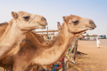 Camels at the Camel Market in Al Ain - PhotoDune Item for Sale