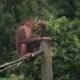 Small Orangutan (Pongo Pygmaeus) Eating Coconut Endangered Endemic Borneo Animal - VideoHive Item for Sale