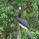 Oriental Pied Hornbill (Anthracoceros Albirostris) Sitting on Tree. Endangered Endemic Borneo Bird - VideoHive Item for Sale