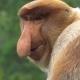Male Proboscis Monkey (Nasalis Larvatus) Scratching Nose Endangered Endemic Borneo Animal - VideoHive Item for Sale