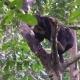 Sun Bear (Helarctos Malayanus) Looking for Food - VideoHive Item for Sale