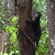 Sun Bear (Helarctos Malayanus) Looking for Food - VideoHive Item for Sale