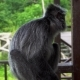 Silver Leaf Monkey (Trachypithecus Cristatus) - VideoHive Item for Sale