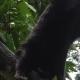 Sun Bear (Helarctos Malayanus) Sleeping on Tree - VideoHive Item for Sale