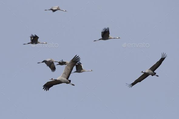 Common crane (Grus grus) - Stock Photo - Images