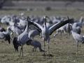 Common crane (Grus grus) - PhotoDune Item for Sale