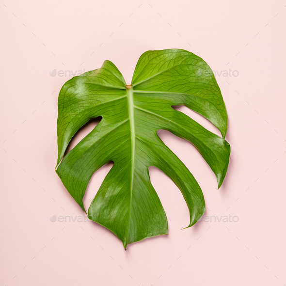 monstera leaf - Stock Photo - Images