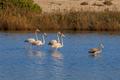 pink flamingos walking through the water - PhotoDune Item for Sale