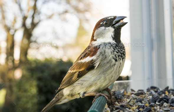 A Common Sparrow Grabs Seed At Feeder The Swallows - Stock Photo - Images