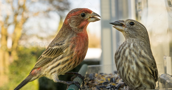 Male House Finch Perched at Bird Feeder Courting Female Animal - Stock Photo - Images