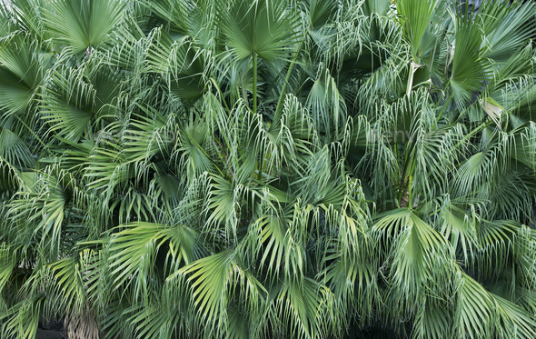 Background from green leaves of palm tree - Stock Photo - Images
