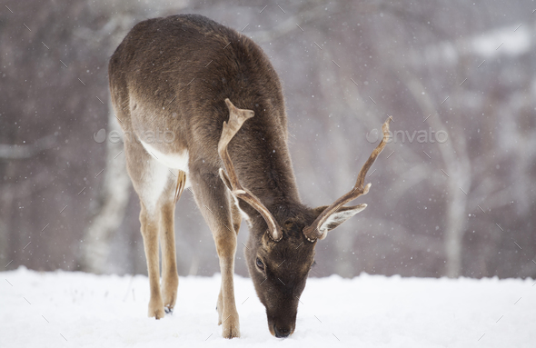 Deer in wintertime - Stock Photo - Images
