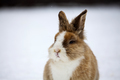 Rabbit in wintertime - PhotoDune Item for Sale