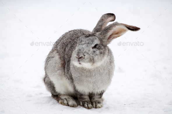 Rabbit in wintertime - Stock Photo - Images