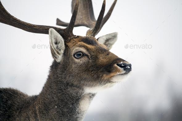 Deer close-up - Stock Photo - Images