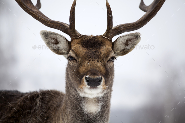Deer close-up - Stock Photo - Images