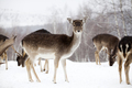 Deer in wintertime - PhotoDune Item for Sale