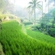 Panning Shot of Tegalalang Rice Paddies in the Heart of Bali, Ubud, Indonesia - VideoHive Item for Sale