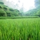 Tegalalang Rice Paddies in the Heart of Bali, Ubud, Indonesia. Sunny Day. - VideoHive Item for Sale