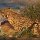 cheetah - PhotoDune Item for Sale