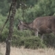 Female Deer Feeding with Heather in the Bush - VideoHive Item for Sale