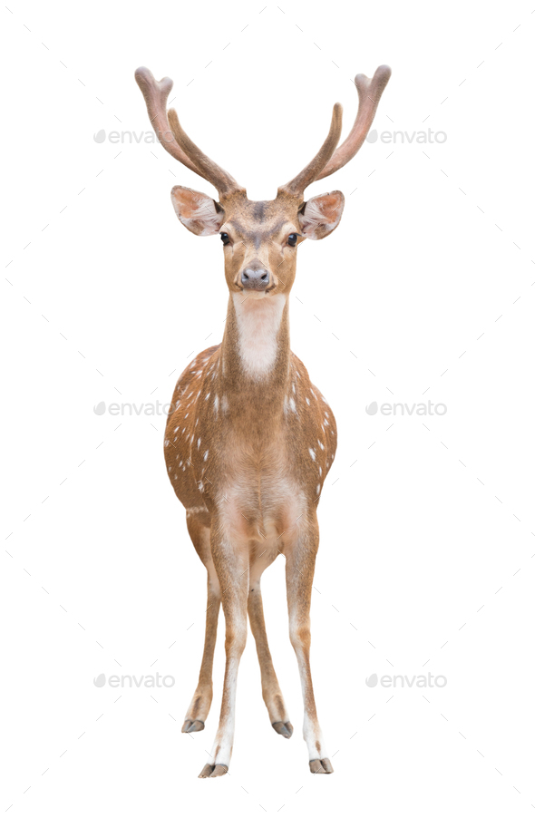 axis deer isolated - Stock Photo - Images