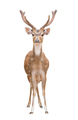 axis deer isolated - PhotoDune Item for Sale